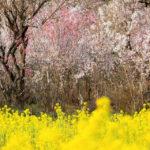 桃源郷 花見山公園の桜と、来夢の喜多方ラーメン