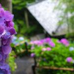 超満開だった長谷寺の紫陽花と、イワタ珈琲店のホットケーキ