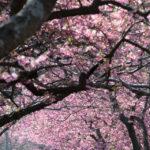 河津桜の発祥の地 河津町の桜並木と、大川屋のうな重